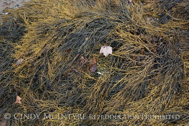 Rockweed, Maine (11)