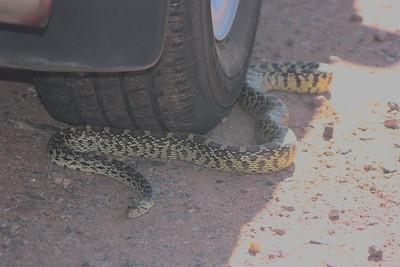 Gopher snake in Sedona, Az