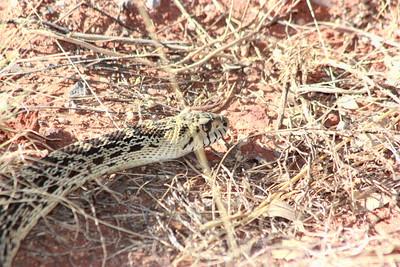 Gopher snake in Sedona