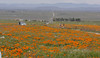 field of flowers_antelope valley_P1030993