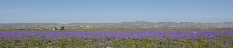field of flowers_Carrizo Plain_P1140943