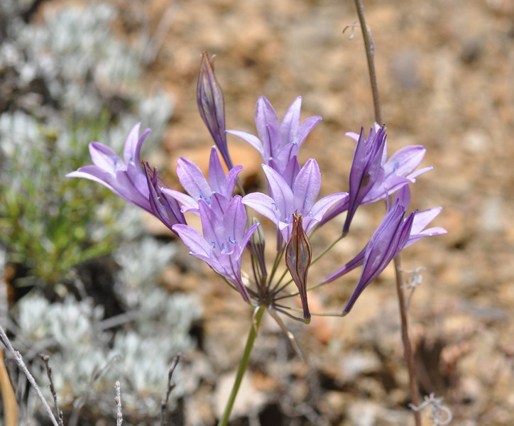 Ithuriel's spear (Triteleia Laxa).  The unopened buds remind me of paper lanterns.
