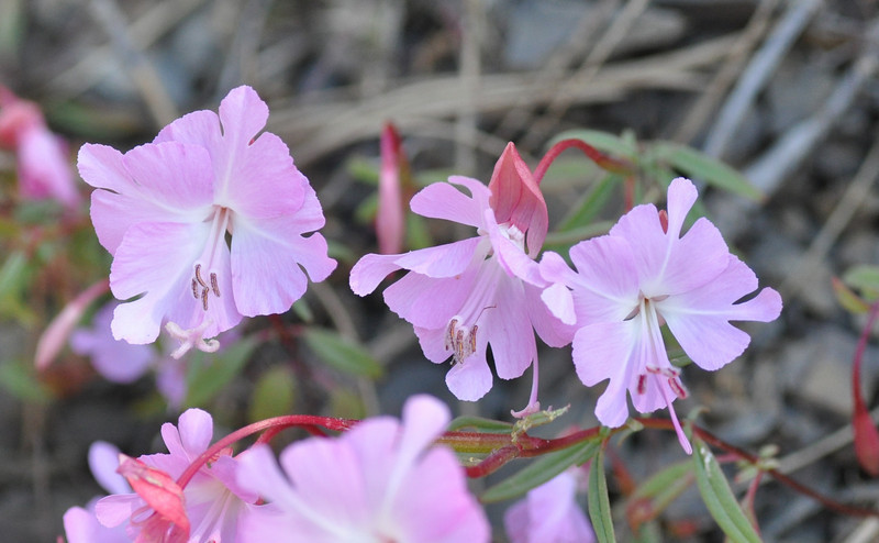We saw dozens of these brewer's clarkia in a small area.