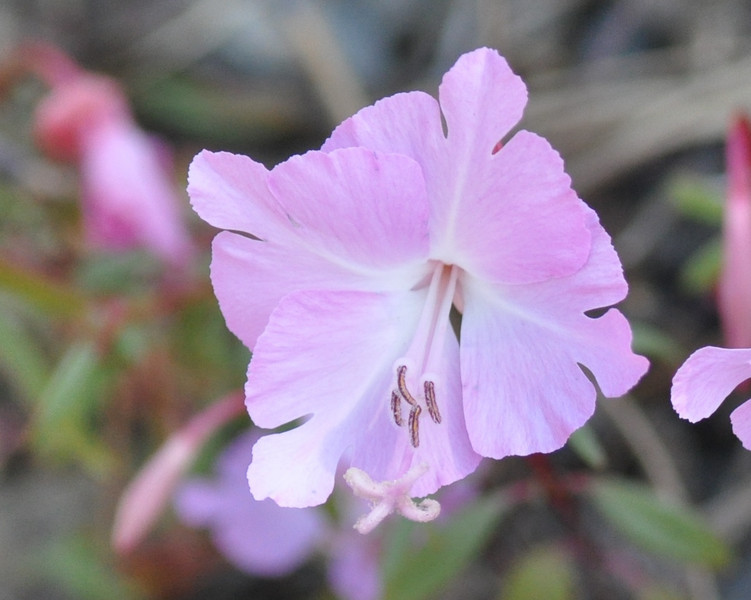 A rare Brewer's clarkia.  This was a first for us.