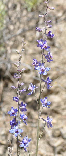 delphiniums were present in large numbers.  The first ones we saw were quite pale.