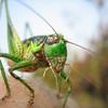 Pet Cricket Creature.