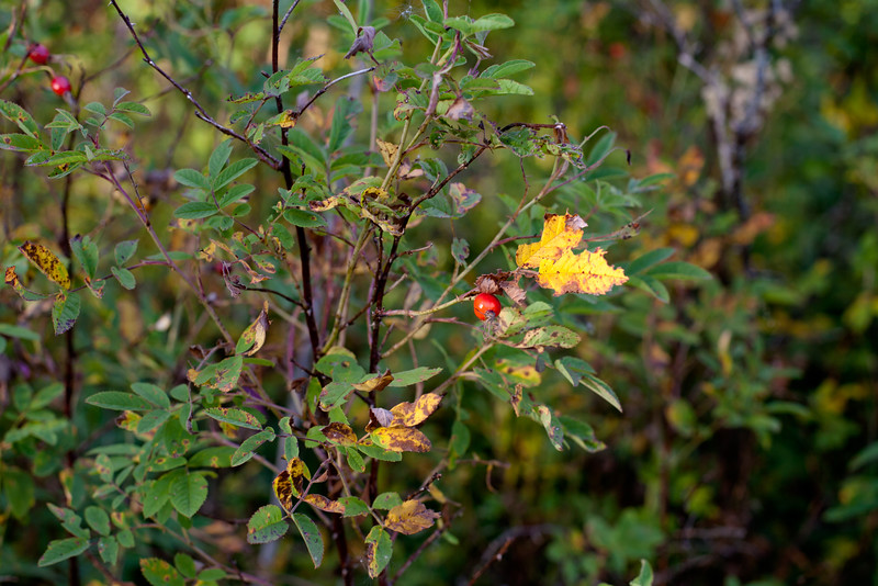 Red autumn berries