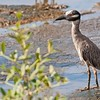 Nyctanassa violacea<br /> Savacu-de-coroa<br /> Yellow-crowned Night-Heron<br /> Garza nocturna Sabacú