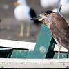 Nycticorax nycticorax<br /> Savacu imaturo<br /> Black-crowned Night-Heron immature<br /> Garza bruja - Tajasu guyra