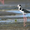 Himantopus melanurus<br /> Pernilongo-de-costas-brancas<br /> White-backed Stilt<br /> Tero real - Tetéu jagua