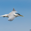 Thalasseus acuflavidus<br /> Trinta-reis-de-bando<br /> Cabot's Tern<br /> Charrán de Cabot