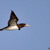 Sula leucogaster<br /> Atobá-pardo<br /> Brown Booby<br /> Piquero pardo