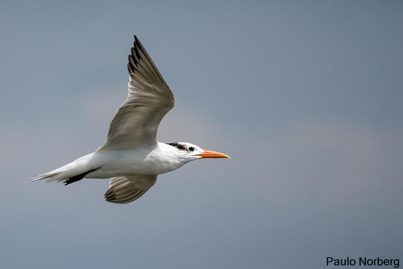 Thalasseus maximus<br /> Trinta-reis-real<br /> Royal Tern<br /> Charrán real