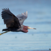 Egretta caerulea<br /> Garça-azul<br /> Little Blue Heron<br /> Garza azul - Hoko'i hovy
