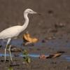 Egretta caerulea<br /> Garça-azul imatura<br /> Little Blue Heron immature<br /> Garza azul - Hoko'i hovy