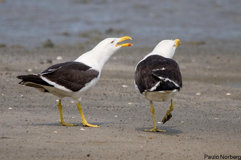 Larus dominicanus<br /> Gaivotão<br /> Kelp Gull<br /> Gaviota cocinera