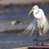 Ardea alba<br /> Garça-branca-grande<br /> Great heron<br /> Garza blanca - Guyratî