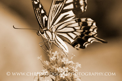 Butterfly Nectaring, Brookside Gardens, Maryland