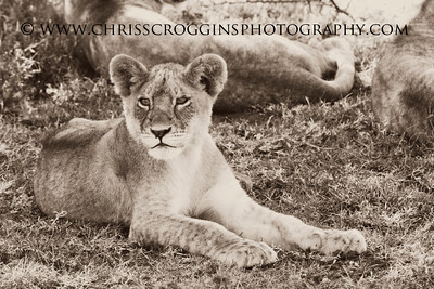Young Lion Cub