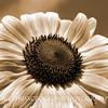 Summer Sunflower, National Arboretum