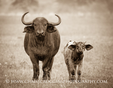 Cape Buffalo Mother and Calf