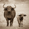 Cape Buffalo Mother and Calf