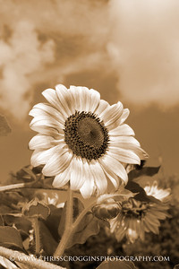 Sunflowers, National Arboretum