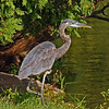 Great Blue Heron lake laverne - ISU campus Ames Iowa