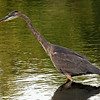 Great Blue Heron lake laverne - ISU campus Ames Iowa - starting to hunt