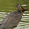 Another view of Great Blue Heron and Bullhead - Lake Laverne ISU campus - Ames IA