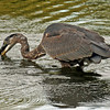 Great Blue Heron lake laverne - ISU campus Ames Iowa - catching prey