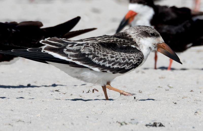 Black Skimmer (Juvenile)