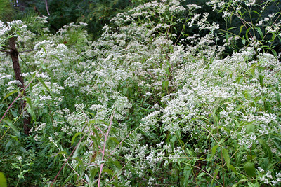A whole field of Queen Anne's Lace in the park behind our house