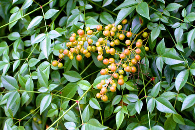 Nandina berries are out, and will soon be bright red.