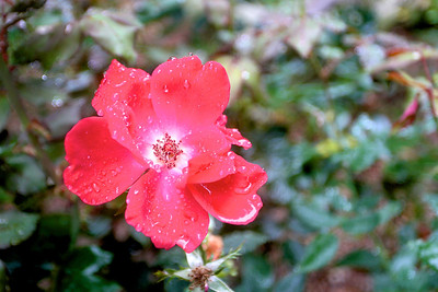 Knockout Rose after the rain.