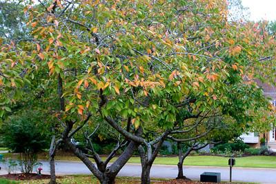 Cherry trees starting to turn