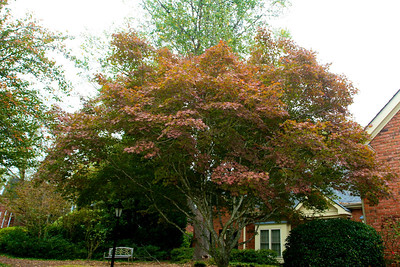 Japanese Maple almost turned