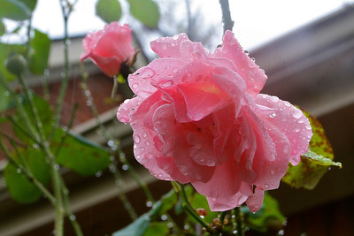 Another rain-kissed rose