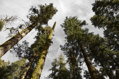 Trees stretch toward the gray skies in Sequoia national park, California.
