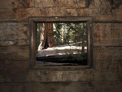 Sequoia makes a pretty picture on the wall from inside a cabin.