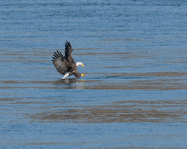 Sequence Bald Eagle fishing and swimming