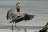 Great Blue Heron, left foot goes through ice<br /> Potomac River<br /> Fairfax County, Virginia<br /> January 2009