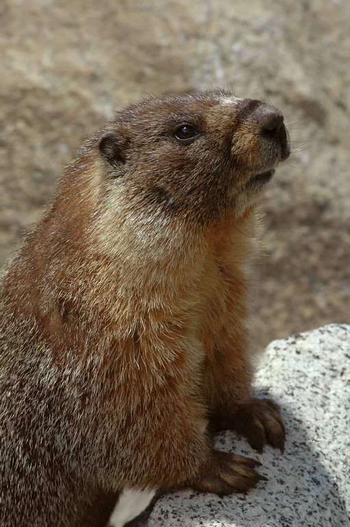 Another pose from this friendly marmot.