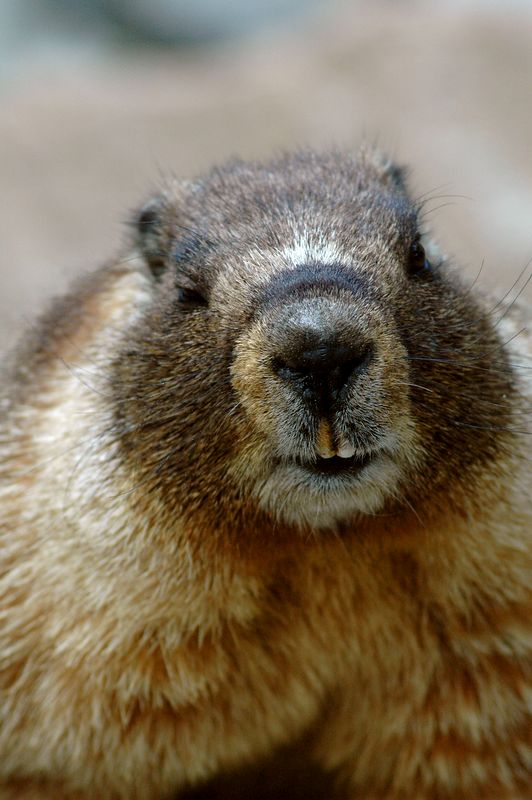 This marmot came right up to me for a pose