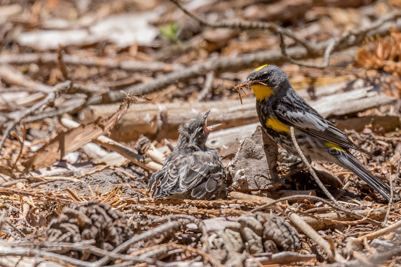Chick fell out of nest and had broken leg.  Mother came down to feed.