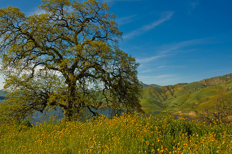 Spring Wildflowers, Lake Kaweah