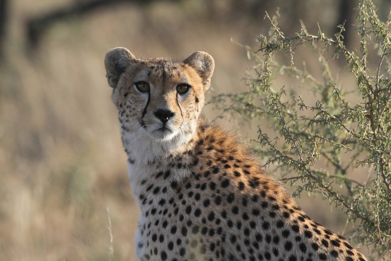 Cheetah, road to Fort Ikoma, Serengeti, June 2011