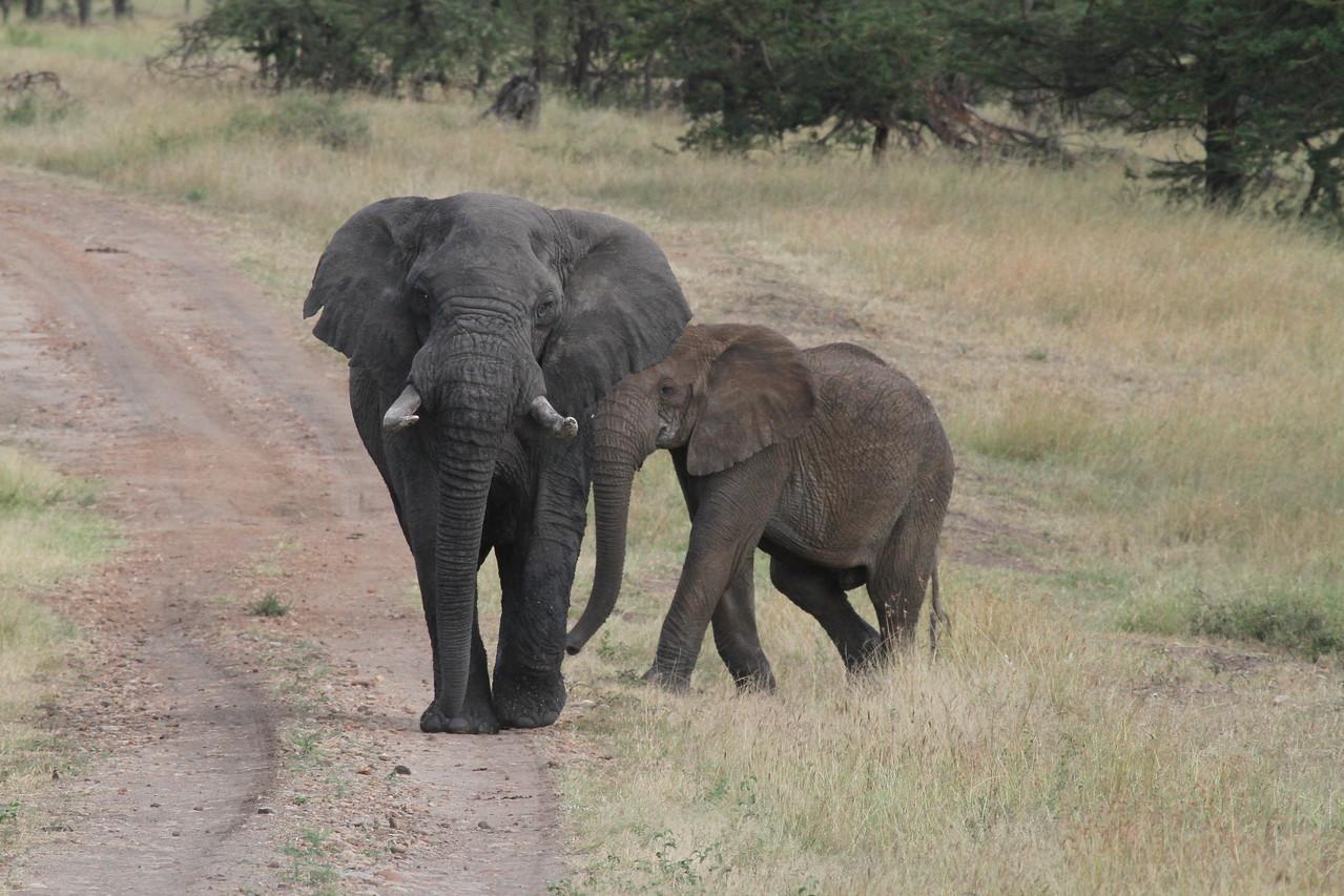 Angry bull elephant, nth of Lobo Lodge, Serengeti June 2011