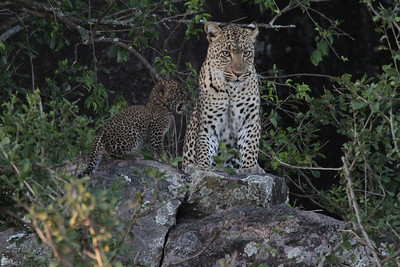Female leopard and cub - kopje to the SE of Seronera, Dec 2010