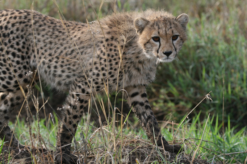One of four immature cheetahs, just south-west of Seronera, Sep 2008